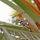 DUBAI 2015 Härfågel i palm kopia