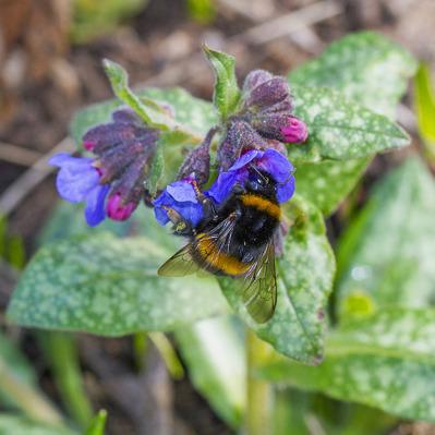 Mörk jordhumla söker nektar i vår trädgård