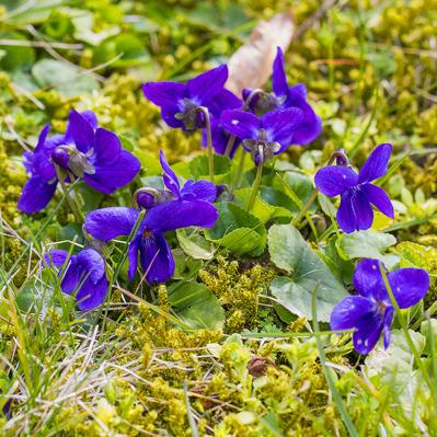 Väldoftande violer i vår ogräs/gräs/mossmatta (!)