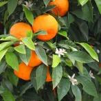 EXTREMADURA 2015 Apelsiner kopia