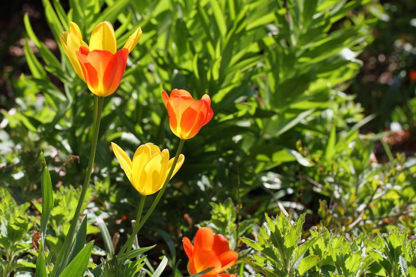 2 maj: Den färgrika vårträdgården med blommande tulpaner och sjungande lövsångare.