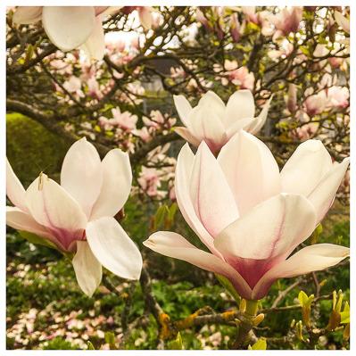 "7 maj: Mina två favoriter bland ""tama"" blommor..."