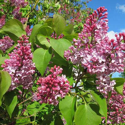 19 maj: Syrenen börjar blomma
