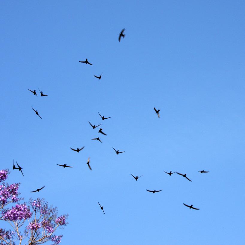 19 maj: Tornseglarna har nu kommit i lite större antal