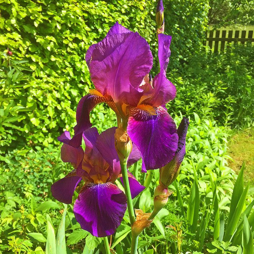 4 juni: Försommar, sol och 18 grader varmt. Våra blå iris är nu i sin fulla prakt!