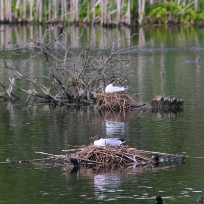 23 maj: Fåglarna vid Magle våtmark