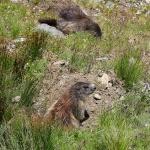 ÖSTERRIKE 2015 Alperna Murmeldjur I  150 dpi