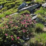ÖSTERRIKE 2015 Alperna Alprosor vid sten  150 dpi