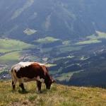 ÖSTERRIKE 2015 Alperna Ko på äng  150 dpi