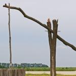 ÖSTERRIKE 2015 Rust Pustapump m tornfalk  150 dpi