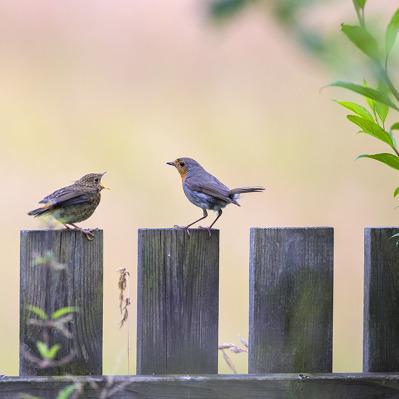 Vissa fågelungar är hungrigare än andra!