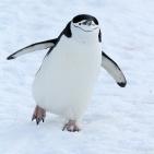 Antarktis 2012 Hakremspingvin