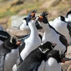 Antarktis 2012 Kejsarskarvar bråkar