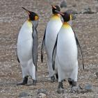 Antarktis 2012 Kungspingviner tre vackra herrar