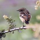 Extremadura 2013 Svarthakad buskskvätta ungfågel