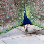 SYDAFRIKA 2014 Påfågel hane