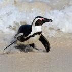 SYDAFRIKA 2014 Sydafrikansk pingvin