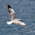 SYDAFRIKA 2014 Hartlaub's Gull