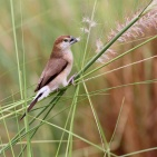 DUBAI 2015 Indian Silverbill