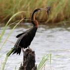 Ormhalsfågel, Botswana
