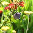 Solfågel, hona sp, Sydafrika