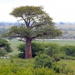 Baobabträdet kopia