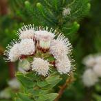 Blomma sp II, Sydafrika 2013