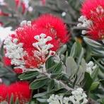 Blomma sp V, Sydafrika 2014