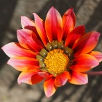 Blomma sp, Sydafrika 2013