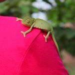 Kameleont, Botswana