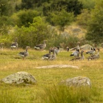 Grågäss i flock V Tosteberga 150908
