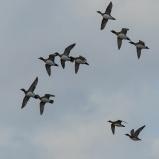 Bläsänder i flock 151028