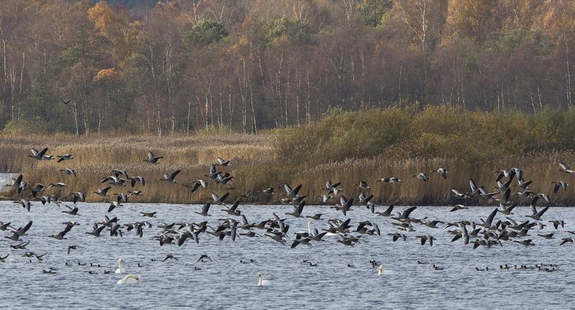 En flock grågäss lyfter från vattnet framför Finja fågeltorn.