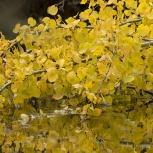 Gula löv i vatten 151019
