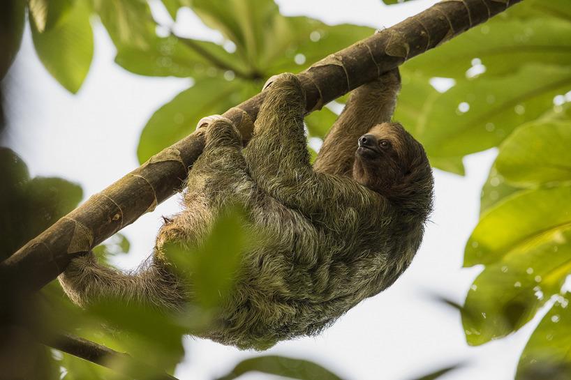 Tretåig sengångare - den dagaktiva arten, av de två, som finns i Costa Rica.