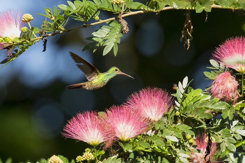 Kolibrin roststjärtsmaragd - en liten skönhet i miniatyr.