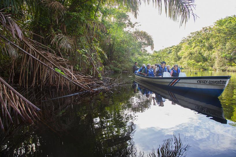 Flodtur inom nationalparken Tortuguero en tidig morgon - en grön dubbelkambasilisk på grenen.