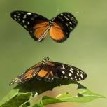 CR 2015 Fjärilar sp I kopia
