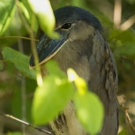 CR 2015 Boat-billed Heron III kopia