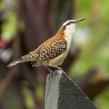 CR 2015 Rufous-naped Wren I kopia