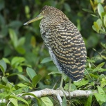 CR 2015 Bare-throuted Tiger-Heron V kopia