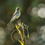 CR 2015 Eastern Wood-Pewee kopia