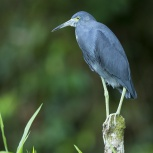 CR 2015 Little Blue Heron VI kopia