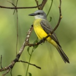CR 2015 Tropical Kingbird V kopia