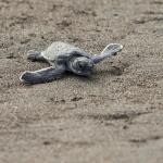 CR 2015 Grönryggad havssköldpadda unge I 150 dpi