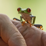 CR 2015 Red-eyed Tree-frog X 150 dpi
