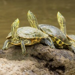 CR 2015 Vattensköldpaddor I 150 dpi