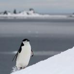 Antarktis 2012 Hakremspingvin III kopia
