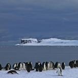 Antarktis 2012 Hakremspingviner I kopia