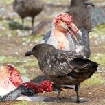Antarktis 2012 Jättestormfågel på rov kopia